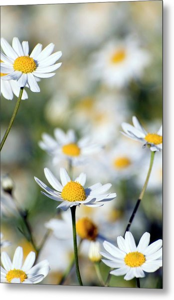 Scentless Mayweed (matricaria Maritima) Metal Print by Dr. John Brackenbury/science Photo Library