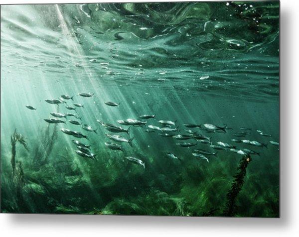 School Of Fish Swim In The Pacific Ocean Metal Print by Ashleywiley