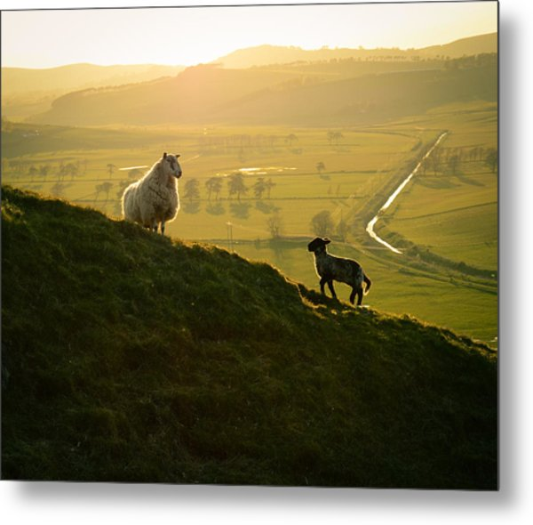 Scottish Sheep And Lamb Metal Print