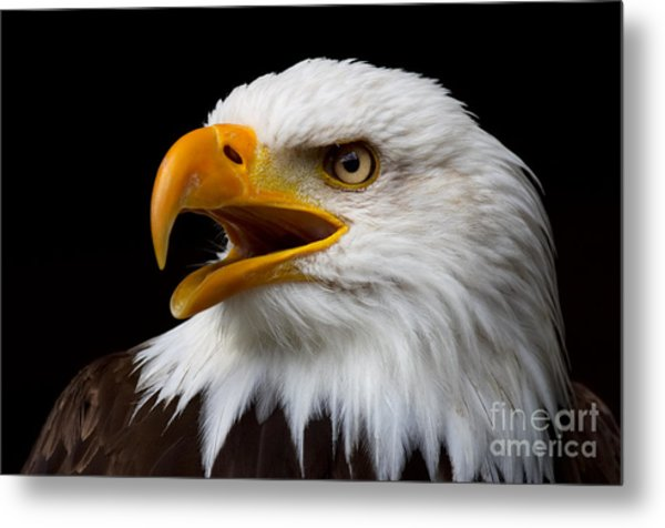 Screaming Bald Eagle Metal Print