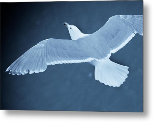 Sea Gull Over Icy Water Metal Print