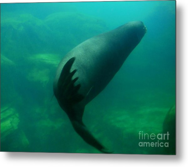 Sea Lion Metal Print by Eclectic Captures