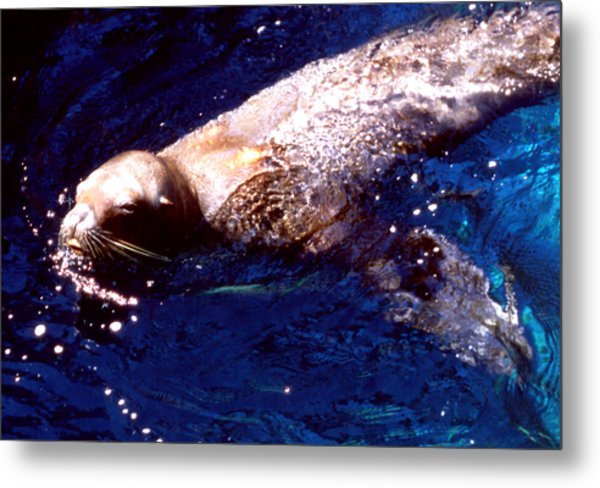 Sea Lion Swim Metal Print by Robert  Rodvik