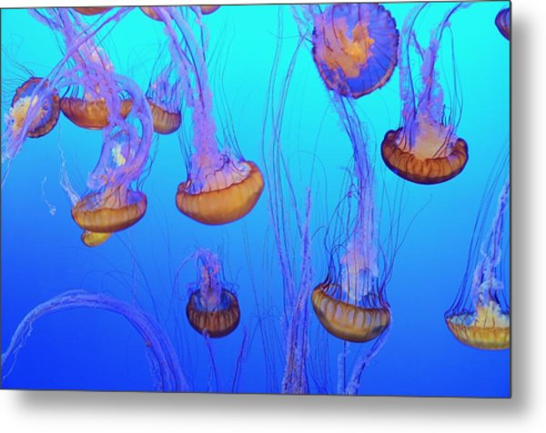 Sea-nettle Jelly Fish  Metal Print