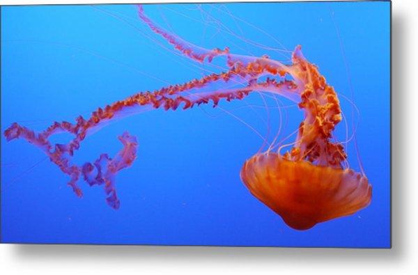 Sea Nettle Jellyfish Metal Print