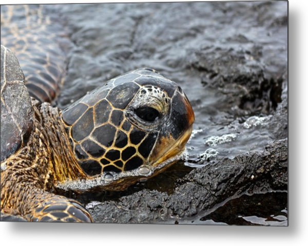 Sea Turtle Puako Tidepools Metal Print