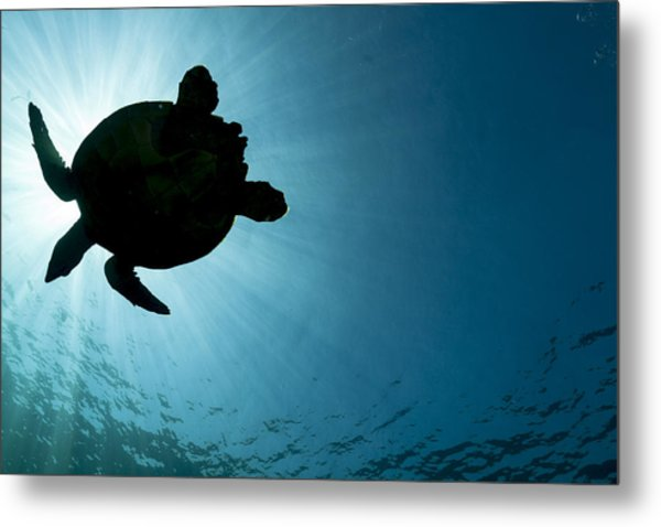 Sea Turtle Silhouette Metal Print