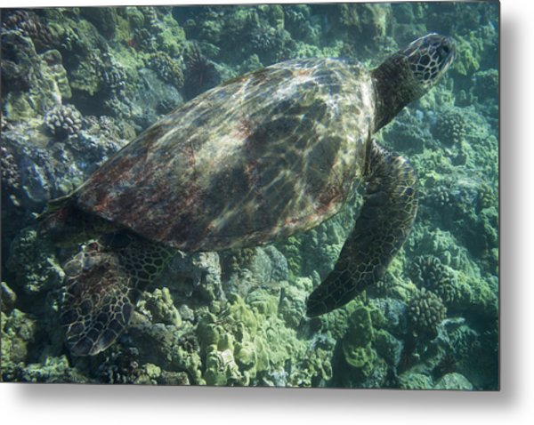 Sea Turtle Surfacing Metal Print