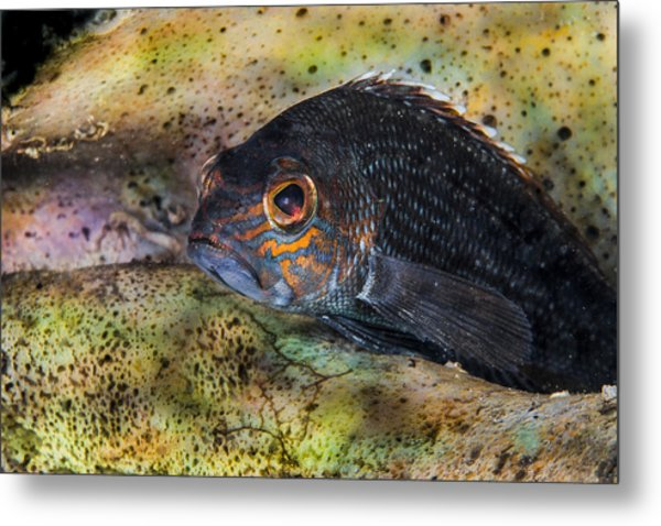 Seabass In A Shell Metal Print