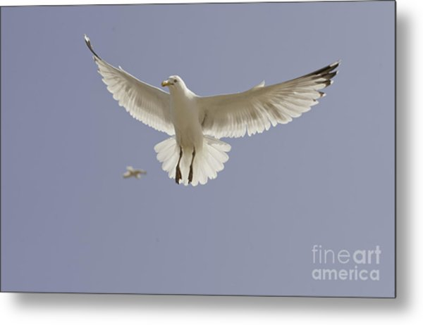 Seagull Hovering Metal Print by Lesley Rigg