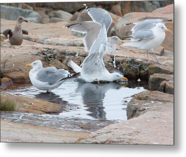 Seagull Swimming Pool - Acadia Metal Print