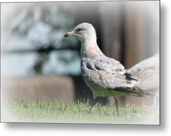 Seagulls 1 Metal Print