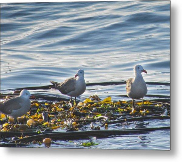 Seagulls In Victoria Bc Metal Print