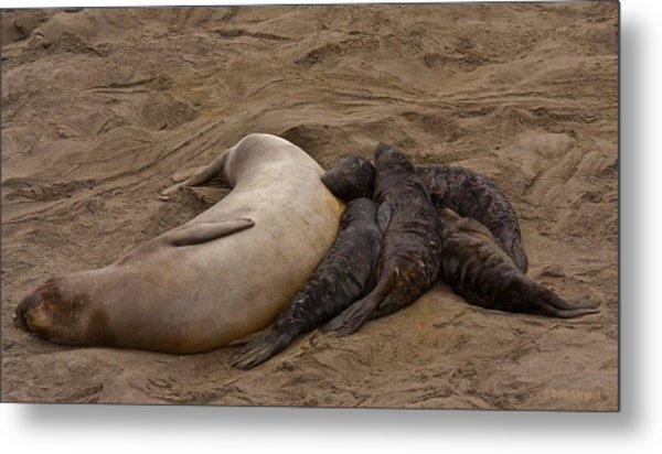 Seal And Pups Metal Print