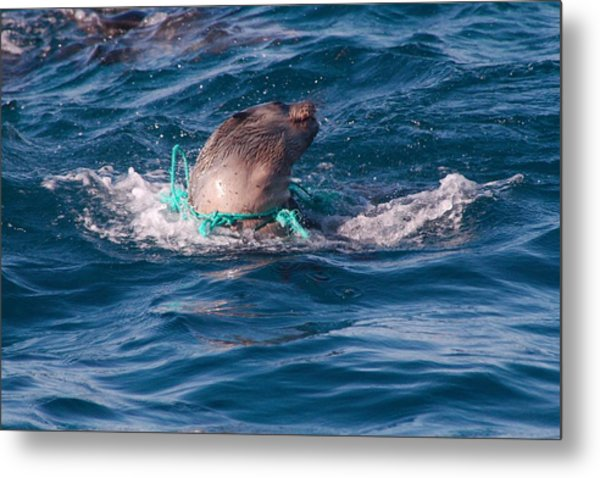 Seal Pup Struggling With Pollution Metal Print
