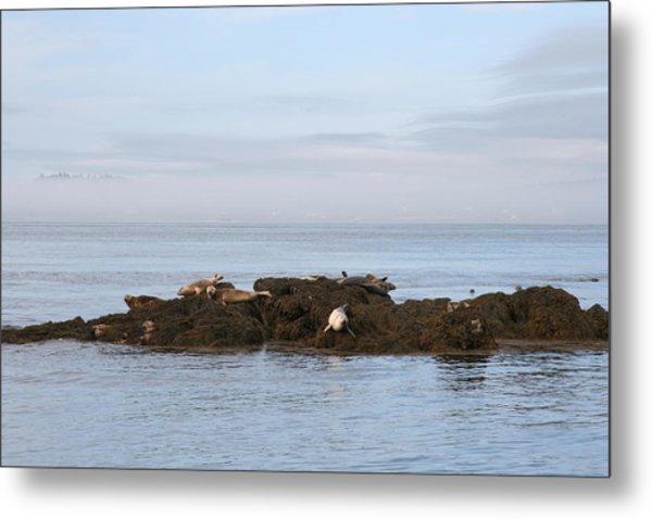 Seals On Island Metal Print by Carolyn Reinhart