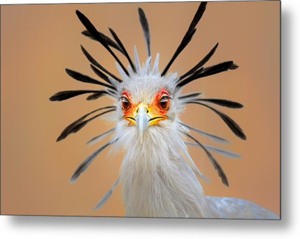 Secretary Bird Portrait Close-up Head Shot Metal Print