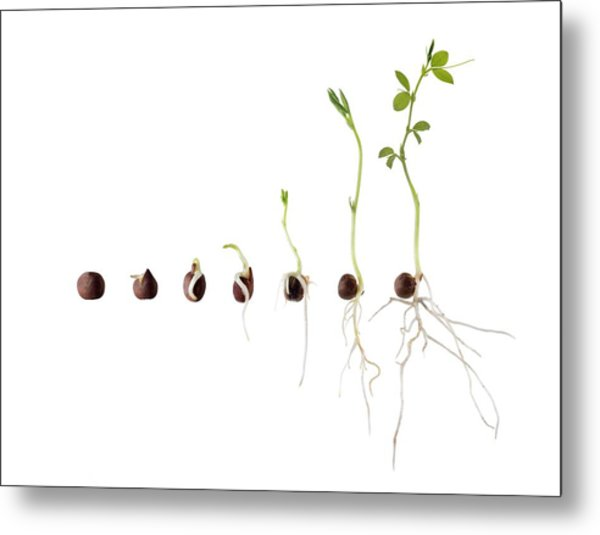 Seed Germination Sequence Metal Print