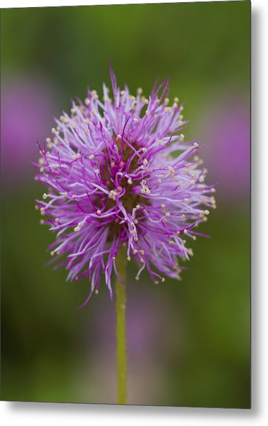 Sensitive Briar Flower Globe Metal Print