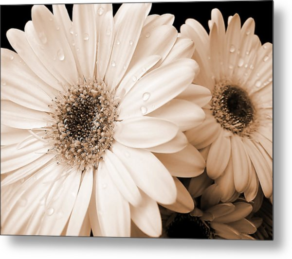 Sepia Gerber Daisy Flowers Metal Print