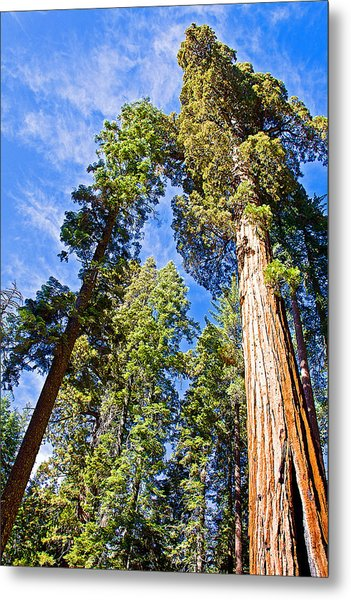 Sequoias Reaching To The Clouds In Mariposa Grove In Yosemite National Park-california Metal Print