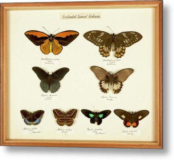 Sexual Dimorphism In Butterflies Metal Print