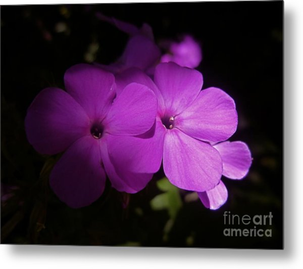 Shadow Phlox Metal Print