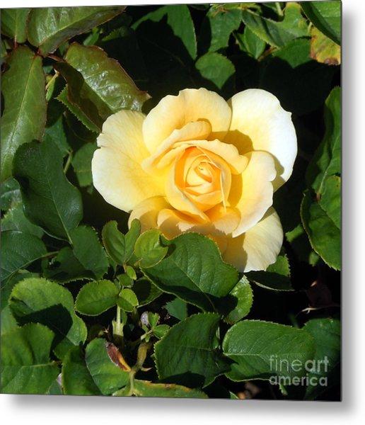 Shadowed Yellow Rose Metal Print