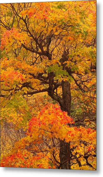 Shapely Maple Tree Metal Print