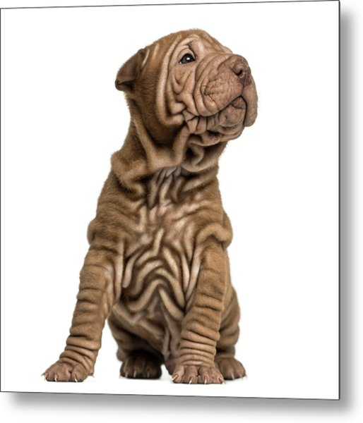 Shar Pei Puppy Sititng, Looking Up Metal Print by Life On White