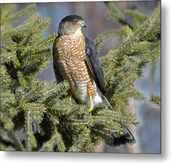 Sharp Shinned Hawk Metal Print