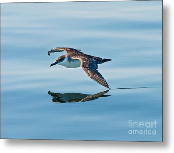 Shearing The Water... Metal Print