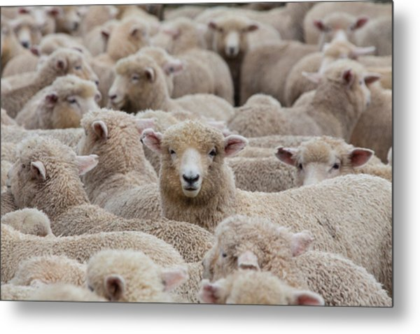 Sheep Herd In New Zealand 2 Metal Print by Clickhere