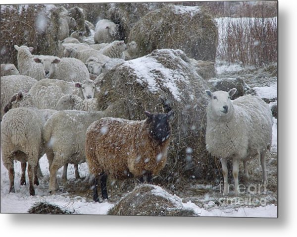 Sheep In Snow Metal Print
