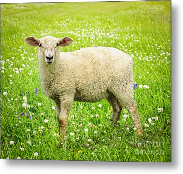 Sheep In Summer Meadow Metal Print