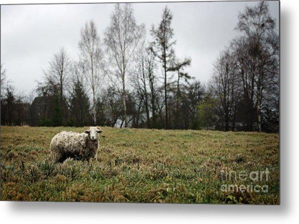 Sheep In Village Field Metal Print by Jolanta Meskauskiene