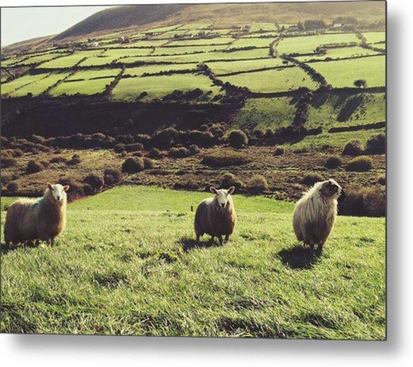 Sheep Standing In Field Metal Print by Thomas Peham / Eyeem