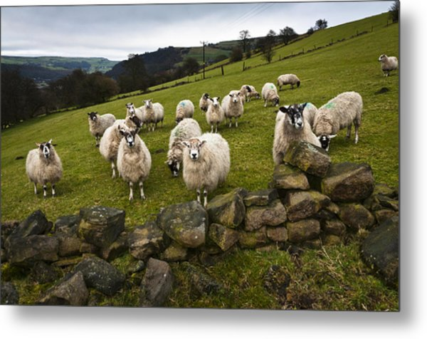 Sheep Will Eat Your Lunch Metal Print