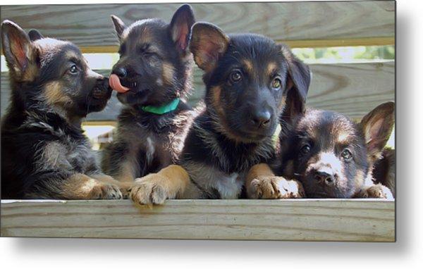 Shepherd Pups 5 Metal Print