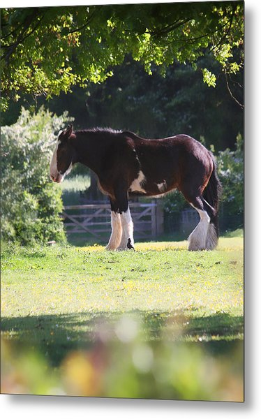 Shire Horse  Metal Print by Stephen Norris