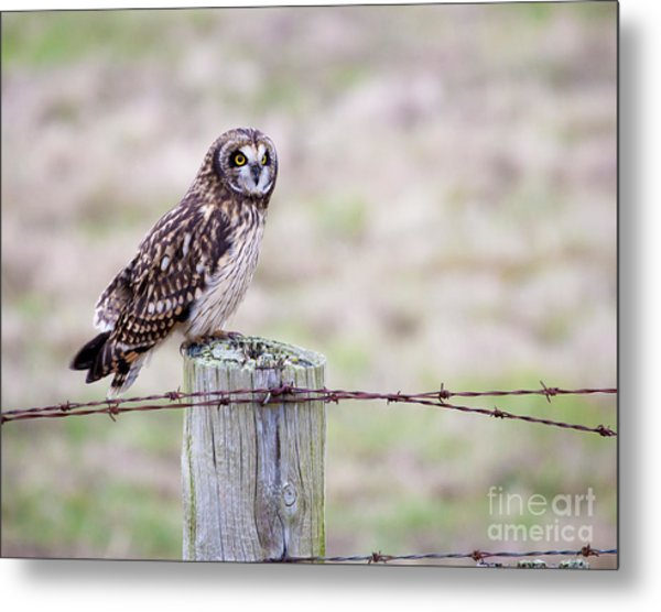 Short Eared Owl Boundary Bay Metal Print