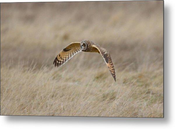 Short-eared Owl In Flight Metal Print