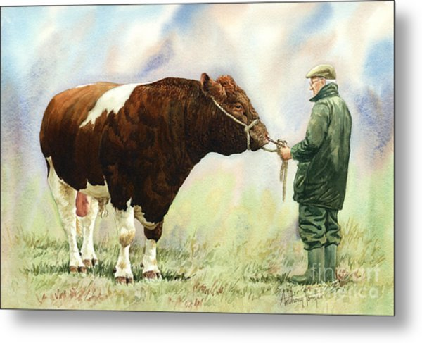 Shorthorn Bull Metal Print by Anthony Forster