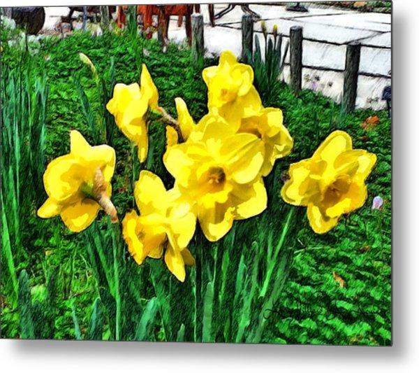 Shy Daffodils  Metal Print