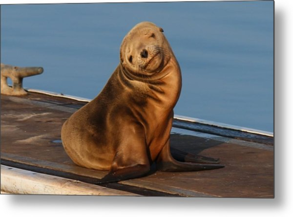 Shy Sea Lion Pup  Metal Print