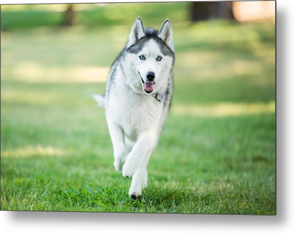 Siberian Husky Dog Running On Grass Outdoors Metal Print by Purple Collar Pet Photography