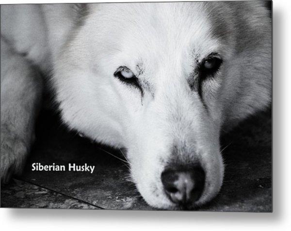 Siberian Husky  Metal Print by Lisa  DiFruscio