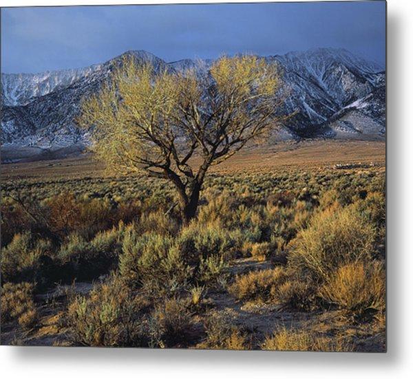 Sierra Sunlit Tree Metal Print