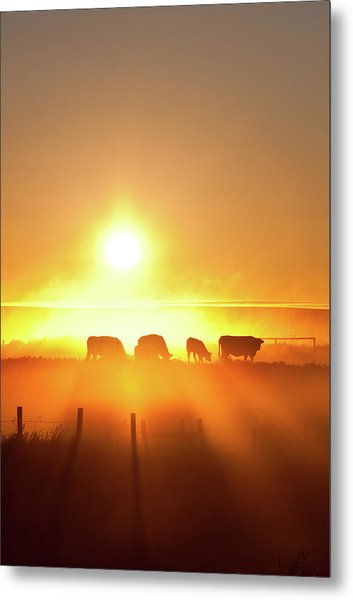 Silhouette Of Cattle Walking Across The Metal Print by Imaginegolf