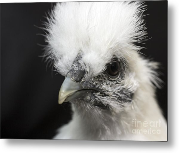Silkie Chicken Portrait Metal Print